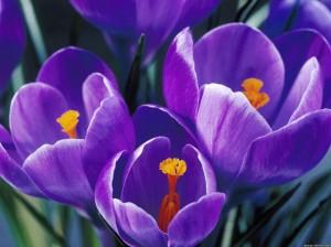 spring-tulip-4-1024x768